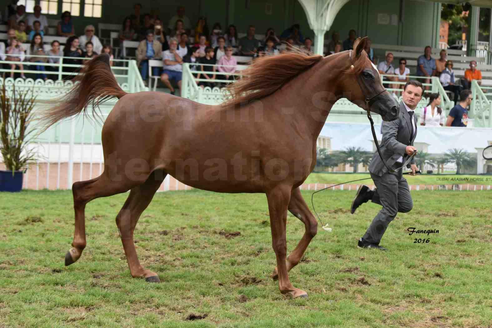 International Arabian Horse Show B de VICHY 2016 - PEARL DE DJOON - Notre Sélection - 15