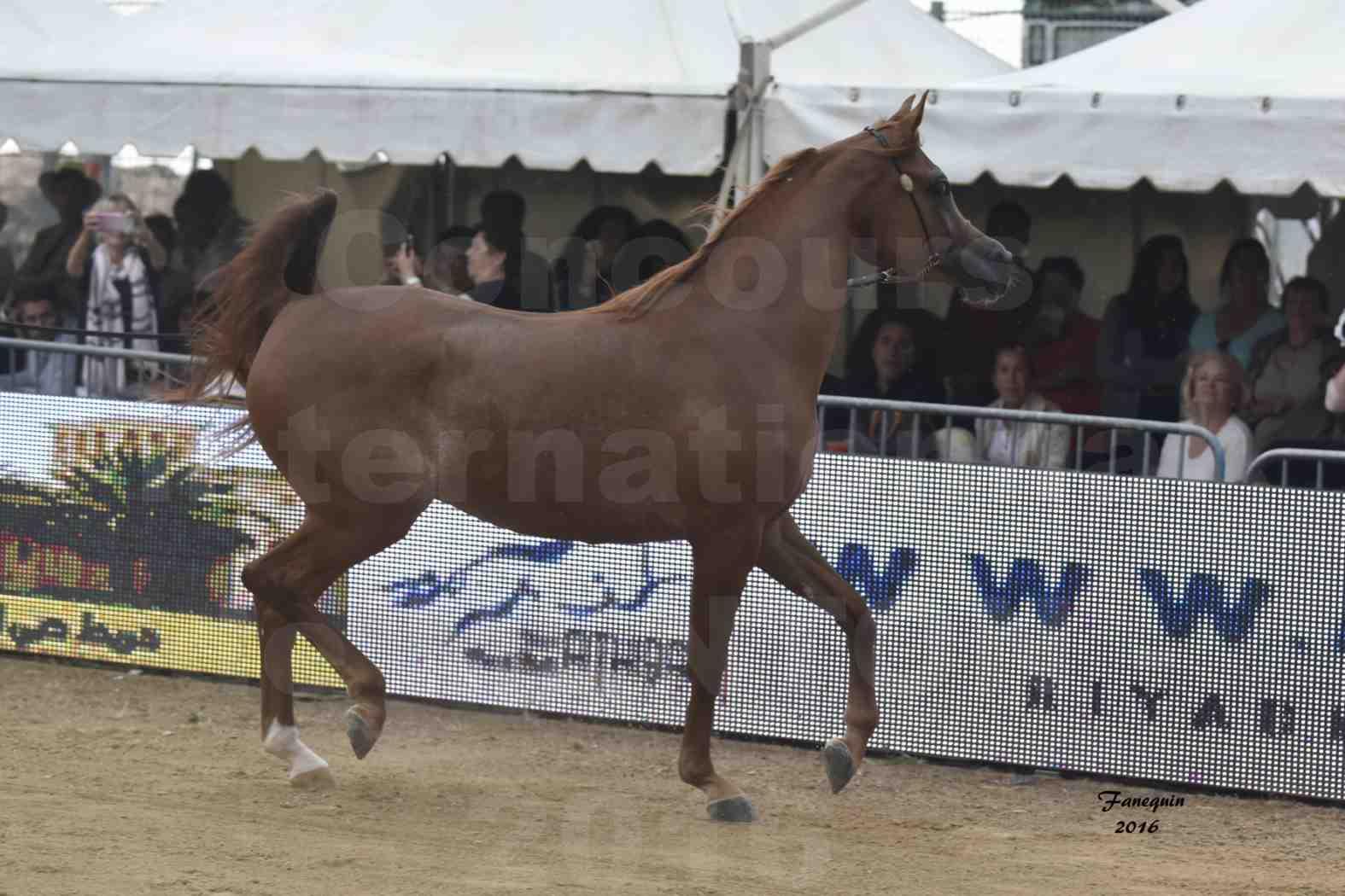 Championnat du pur-sang arabe de la Méditerranée et des pays arabes - MENTON 2016 - FARAH AL SHAQAB - Notre Sélection - 04