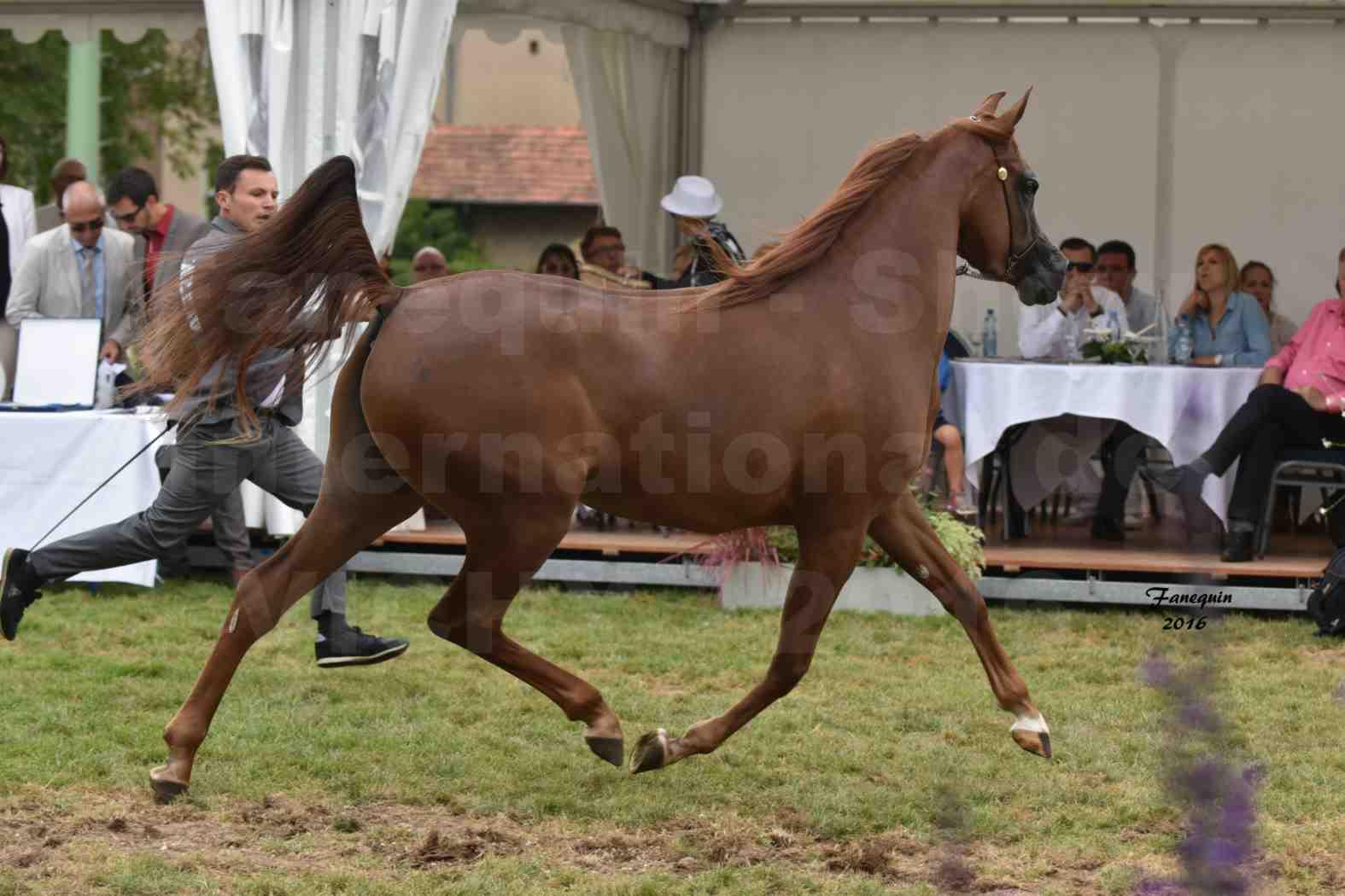 International Arabian Horse Show B de VICHY 2016 - PEARL DE DJOON - Notre Sélection - 19