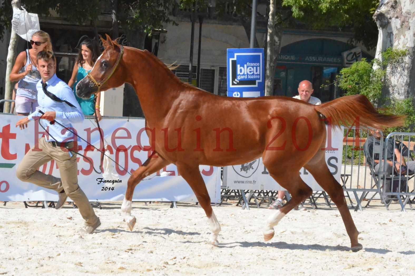 Concours National de Nîmes de chevaux ARABES 2014 - Notre Sélection - DZHARI NUNKI - 05