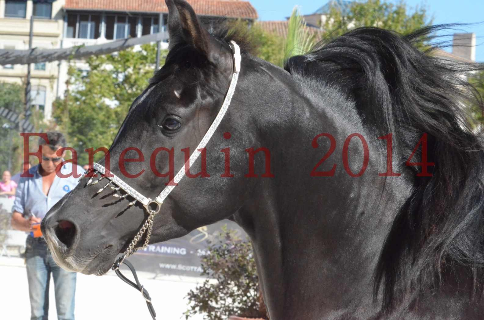 Concours National de Nîmes de chevaux ARABES 2014 - Sélection - Portraits - BALTYK DE CHAUMONT - 02