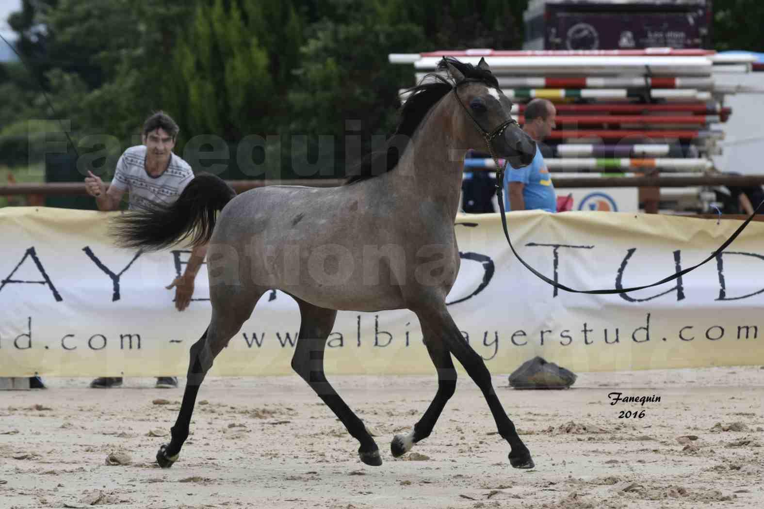 Show national de chevaux arabe de CHAZEY sur AIN - FALOUKA - 4
