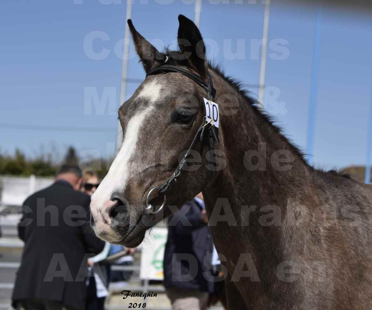 Concours d'élevage de Chevaux Arabes - Demi Sang Arabes - Anglo Arabes - ALBI les 6 & 7 Avril 2018 - GOLD OF MARTRETTES - Notre Sélection - Portraits - 3