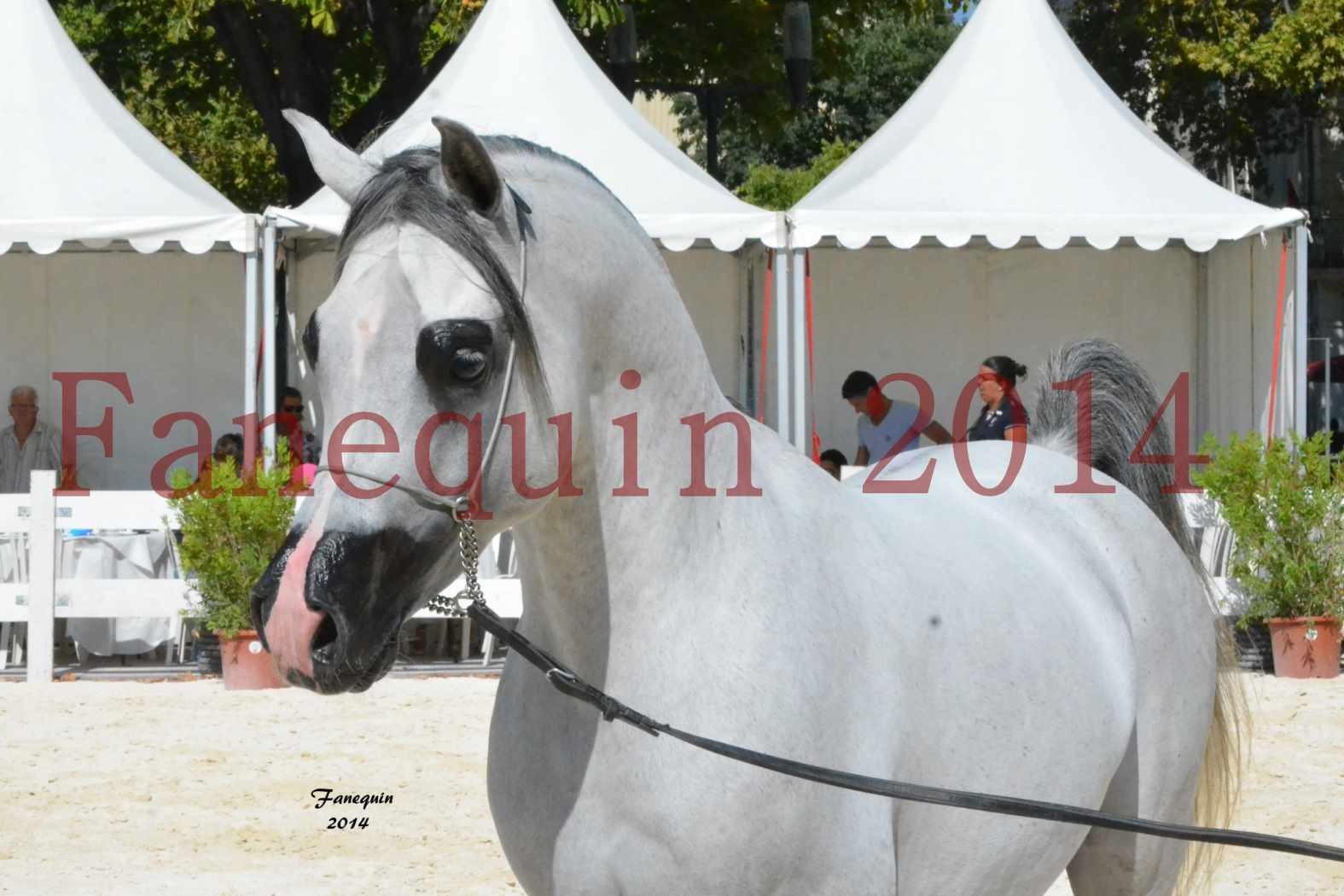 Concours National de Nîmes de chevaux ARABES 2014 - Notre Sélection - Portraits - SHAOLIN DE NEDJAIA - 03