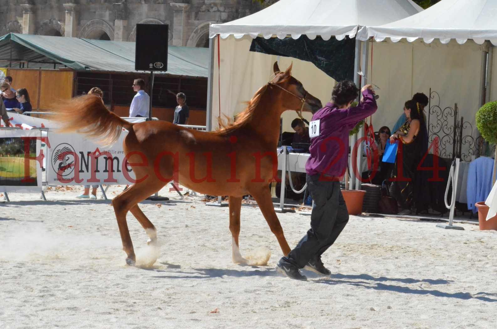 Concours National de Nîmes de chevaux ARABES 2014 - TSAR NERIO - 03