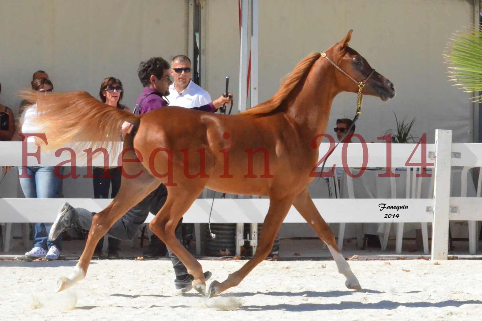 Concours National de Nîmes de chevaux ARABES 2014 - Notre Sélection - TSAR NERIO - 05