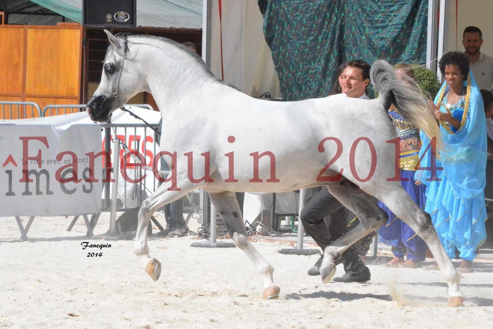 Concours National de Nîmes de chevaux ARABES 2014 - Notre Sélection - SHAOLIN DE NEDJAIA - 11