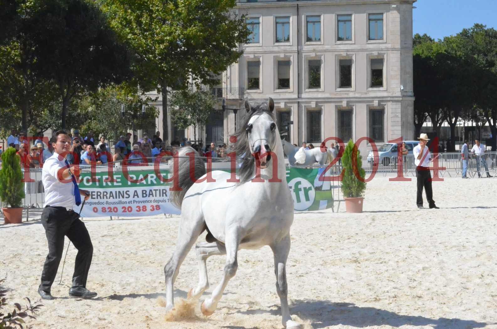 Concours National de Nîmes de chevaux ARABES 2014 - Sélection - SHAOLIN DE NEDJAIA - 55