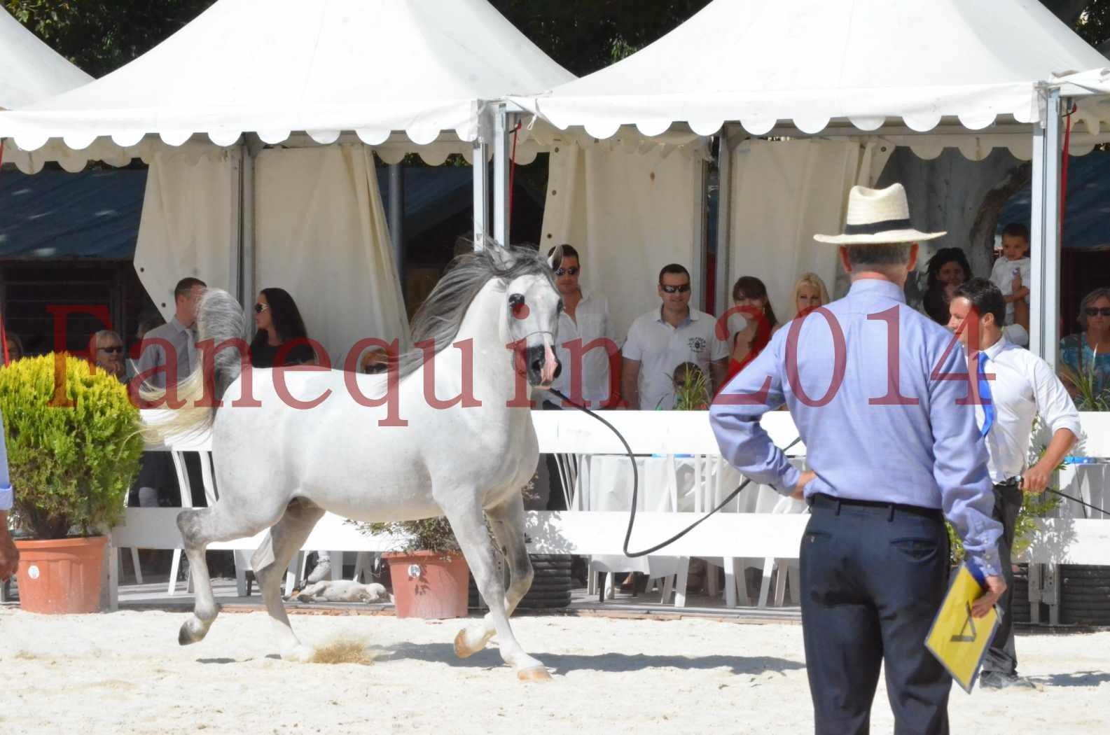 Concours National de Nîmes de chevaux ARABES 2014 - Sélection - SHAOLIN DE NEDJAIA - 66