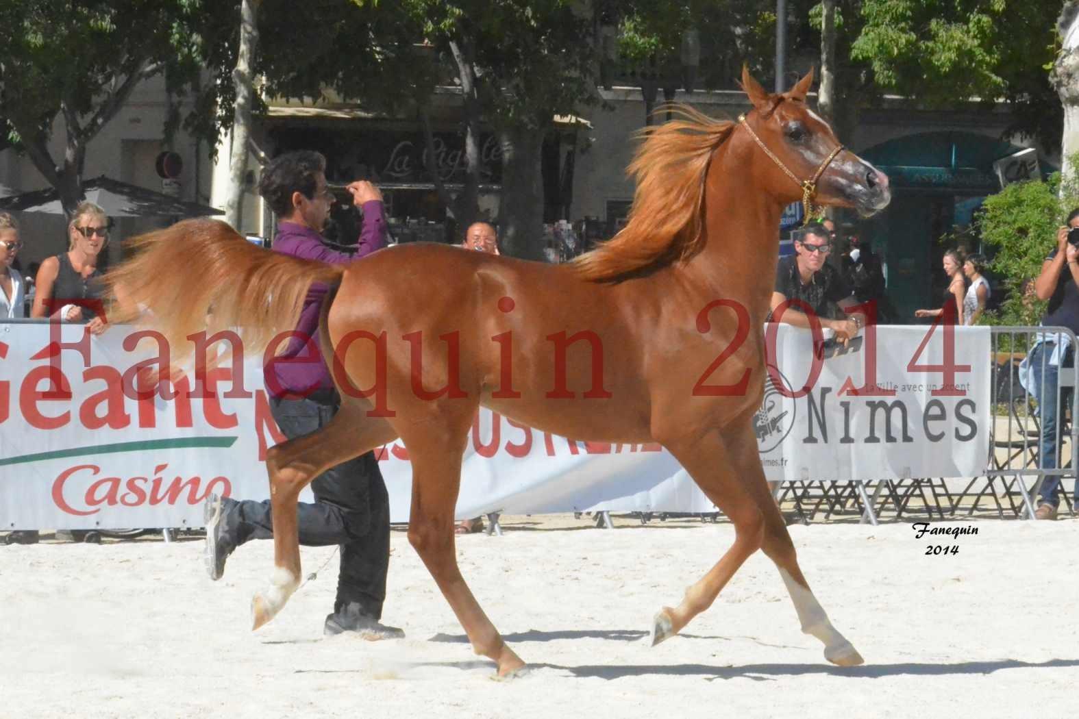 Concours National de Nîmes de chevaux ARABES 2014 - Notre Sélection - TSAR NERIO - 12