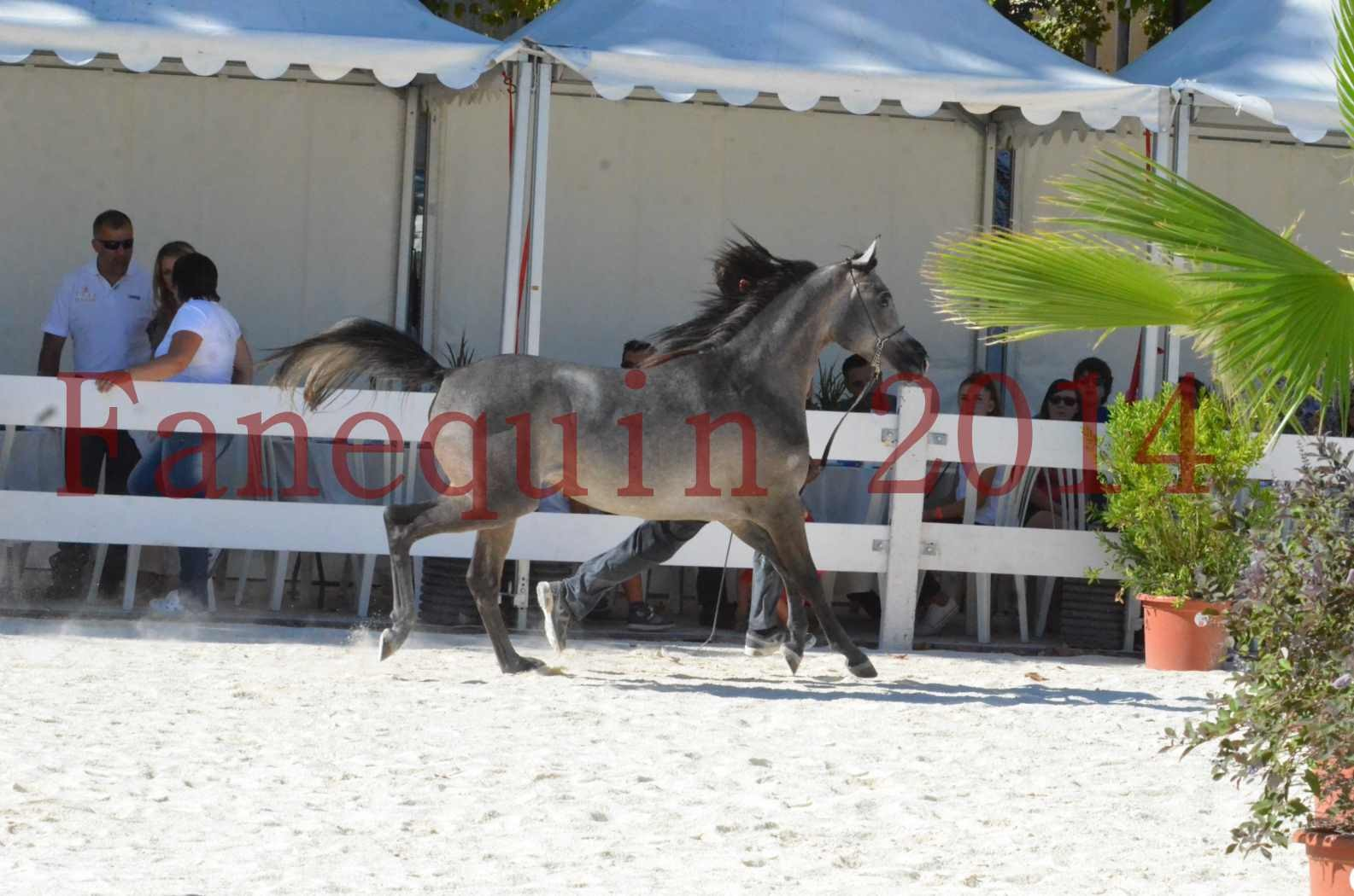 Concours National de Nîmes de chevaux ARABES 2014 - Championnat - JOSEPH'S BOUZIOLS - S 07