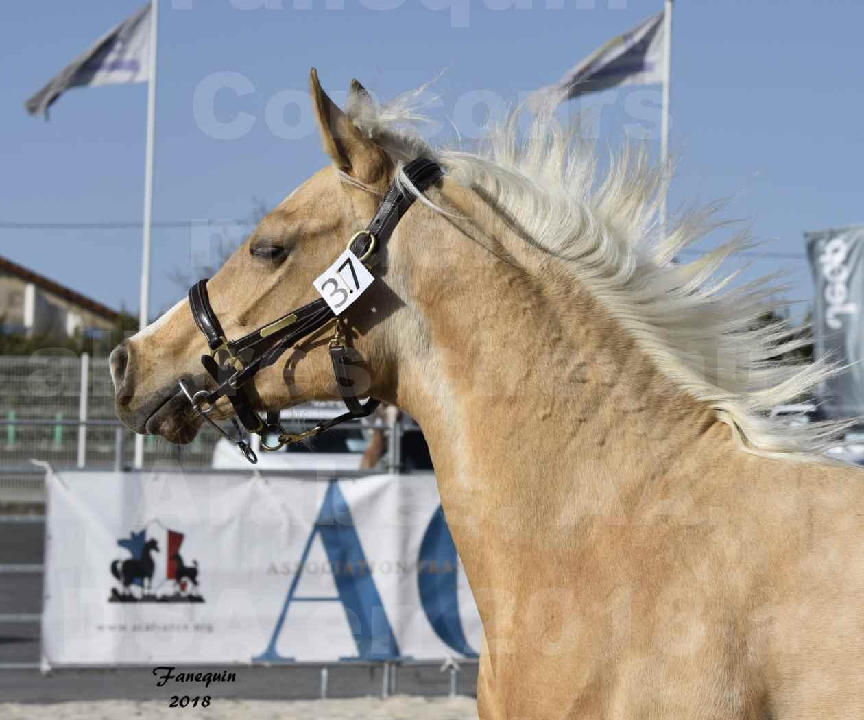 Concours d'élevage de Chevaux Arabes - Demi Sang Arabes - Anglo Arabes - ALBI les 6 & 7 Avril 2018 - GOLD DE DARRE - Notre Sélection - Portraits - 5