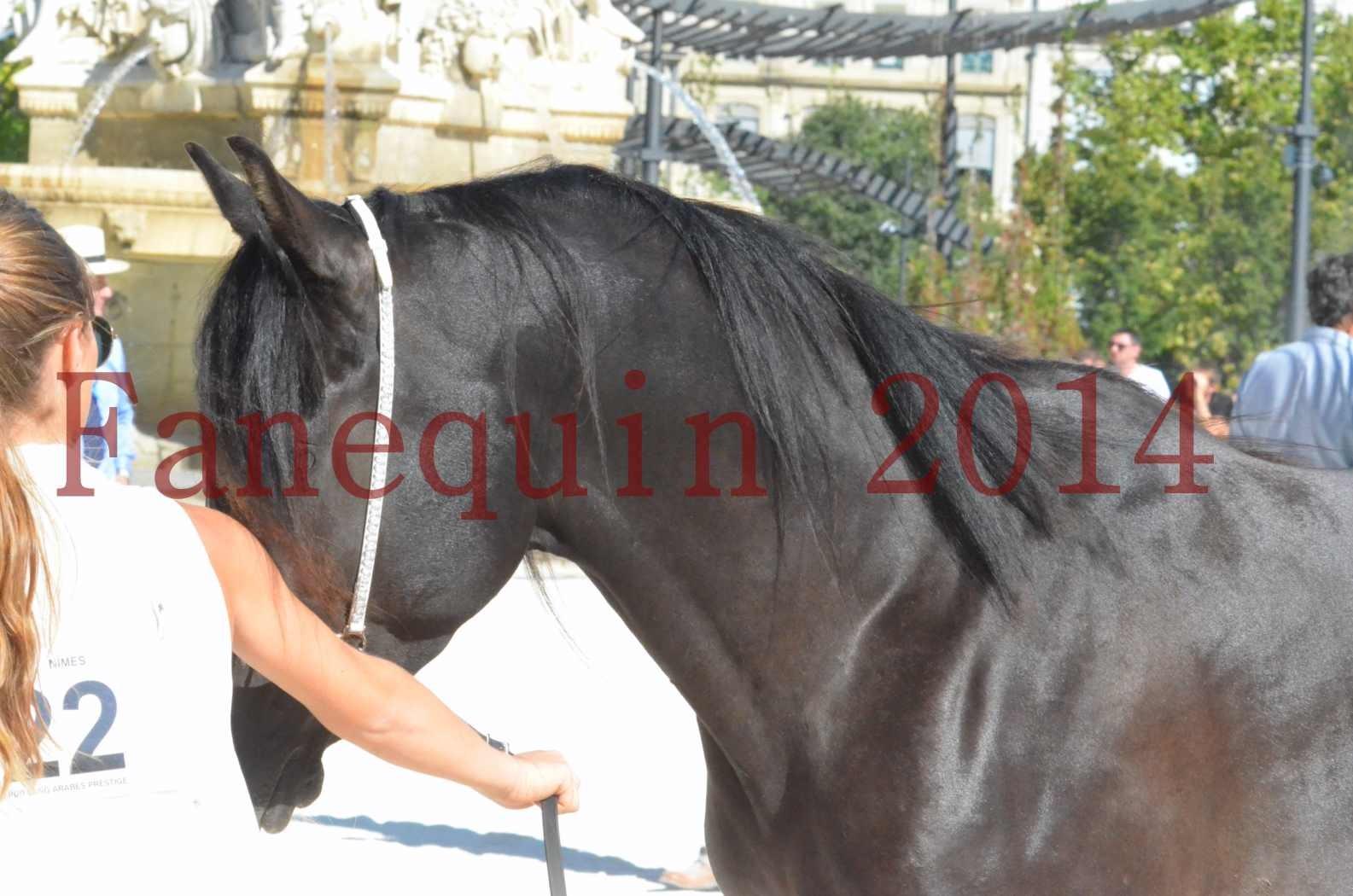 Concours National de Nîmes de chevaux ARABES 2014 - Sélection - Portraits - BALTYK DE CHAUMONT - 08