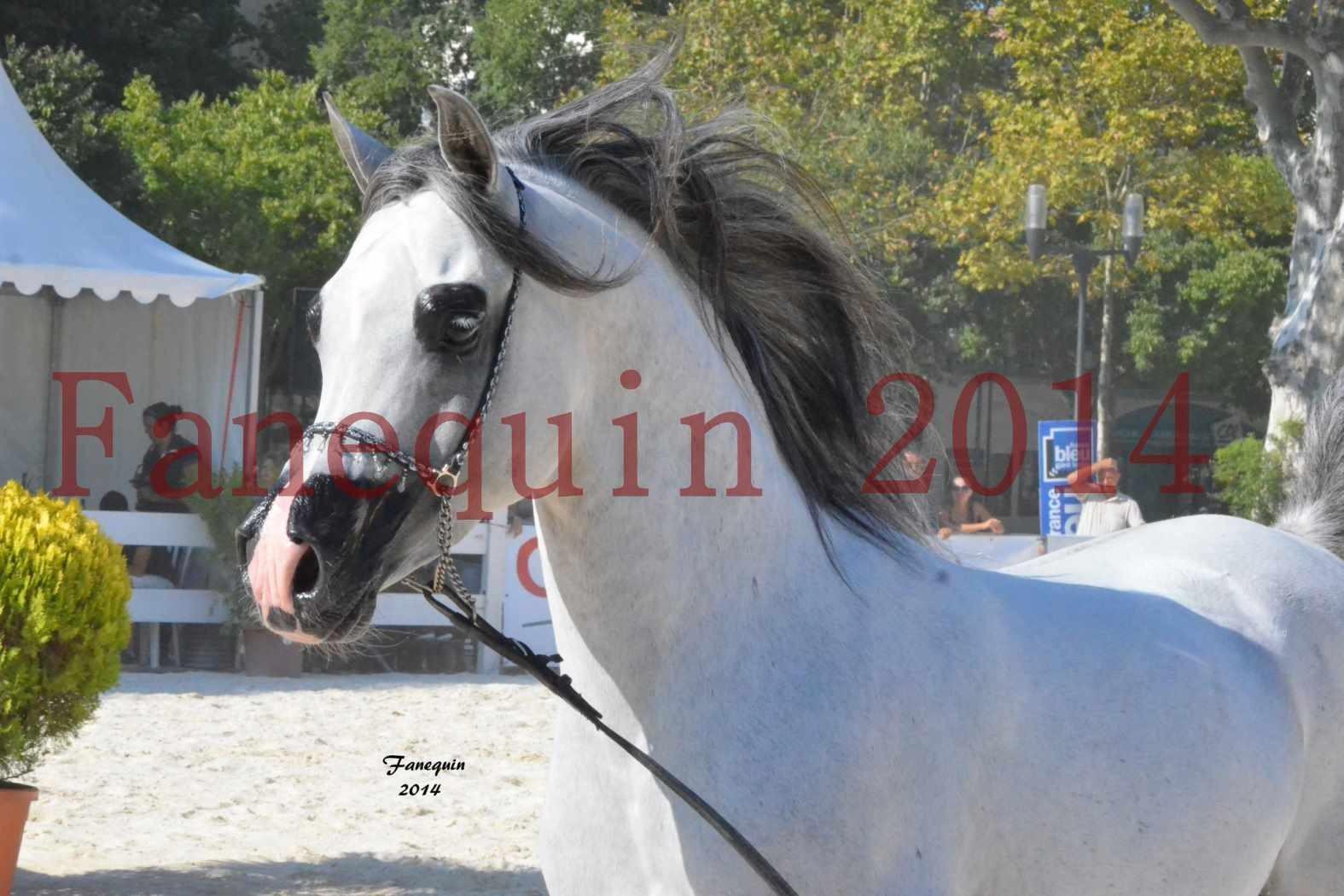 Concours National de Nîmes de chevaux ARABES 2014 - Notre Sélection - Portraits - SHAOLIN DE NEDJAIA - 15