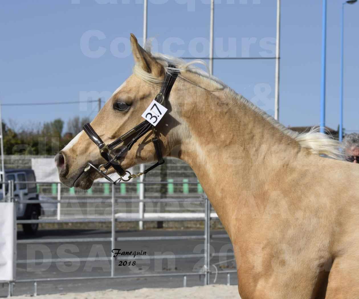 Concours d'élevage de Chevaux Arabes - Demi Sang Arabes - Anglo Arabes - ALBI les 6 & 7 Avril 2018 - GOLD DE DARRE - Notre Sélection - Portraits - 8