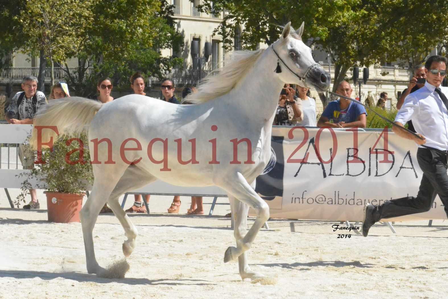 Concours National de Nîmes de chevaux ARABES 2014 - ENVY ETERNITY - 12