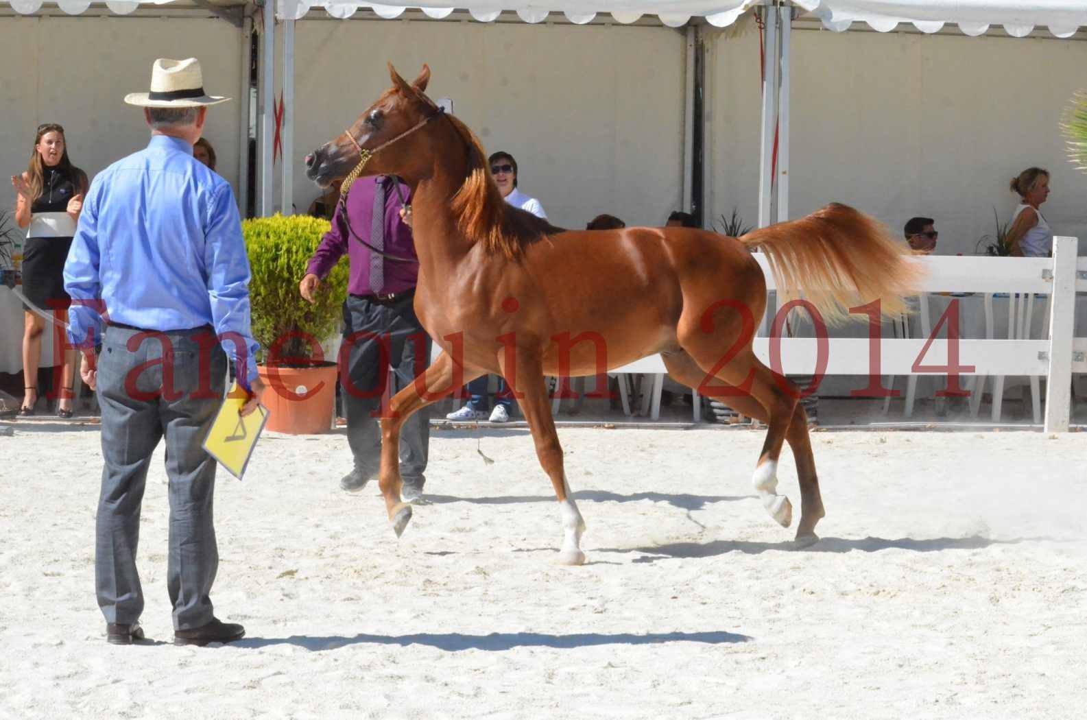 Concours National de Nîmes de chevaux ARABES 2014 - TSAR NERIO - 05