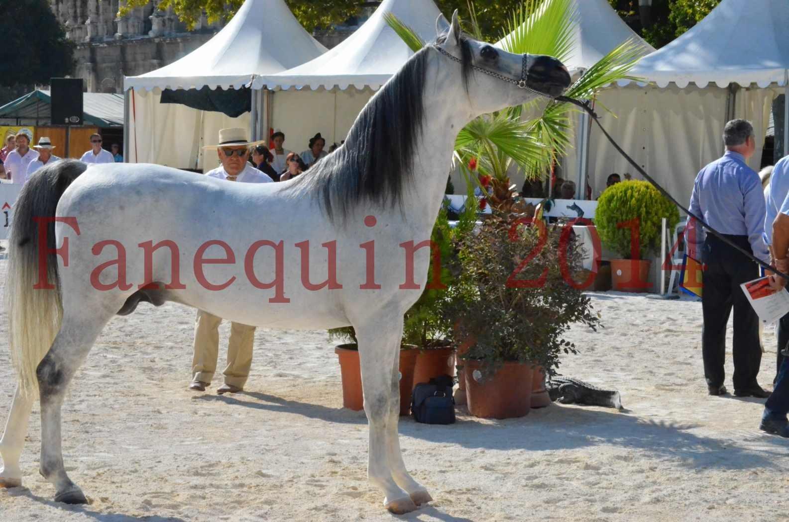 Concours National de Nîmes de chevaux ARABES 2014 - Championnat - SHAOLIN DE NEDJAIA - 42