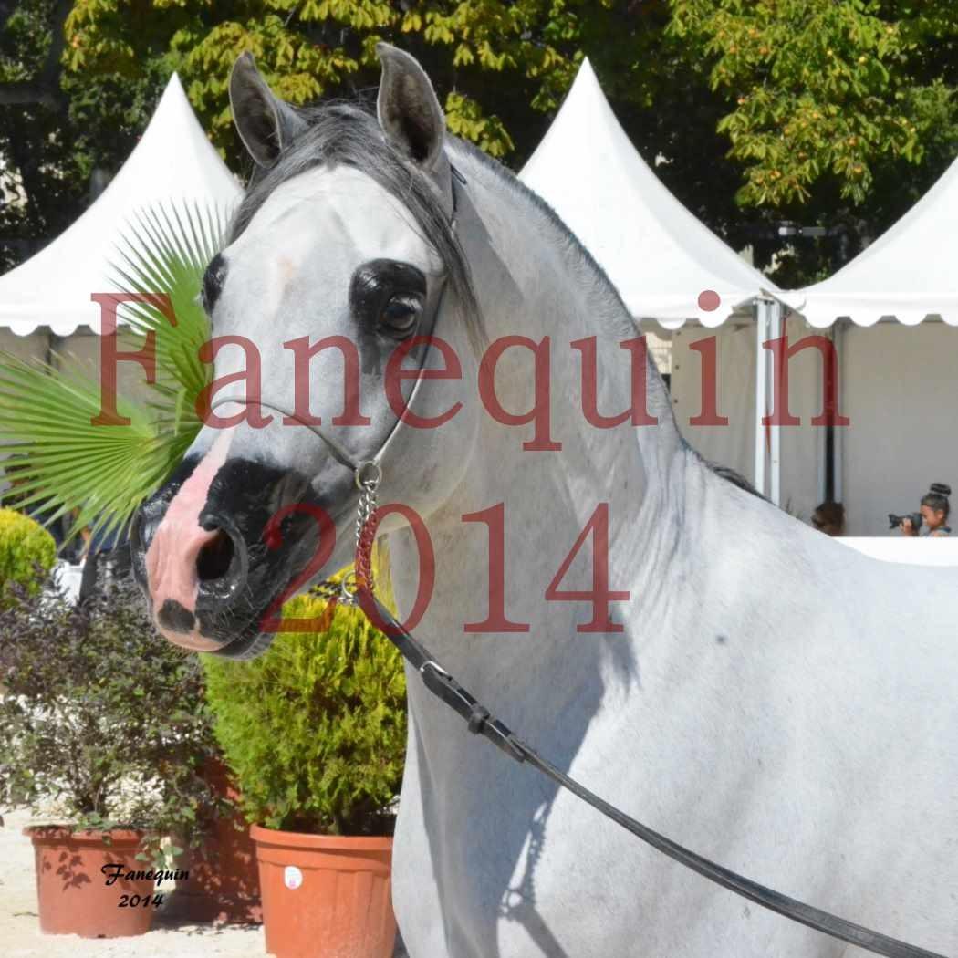 Concours National de Nîmes de chevaux ARABES 2014 - Notre Sélection - Portraits - SHAOLIN DE NEDJAIA - 04