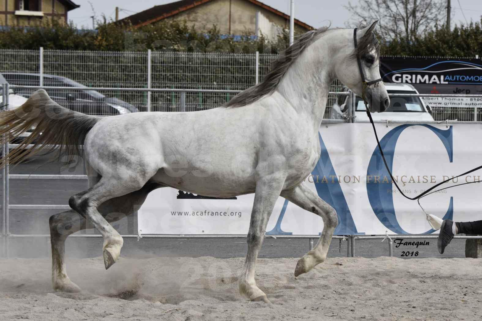 Concours d'élevage de Chevaux Arabes - Demi Sang Arabes - Anglo Arabes - ALBI les 6 & 7 Avril 2018 - FADI ALBIDAYER - Notre Sélection - 06