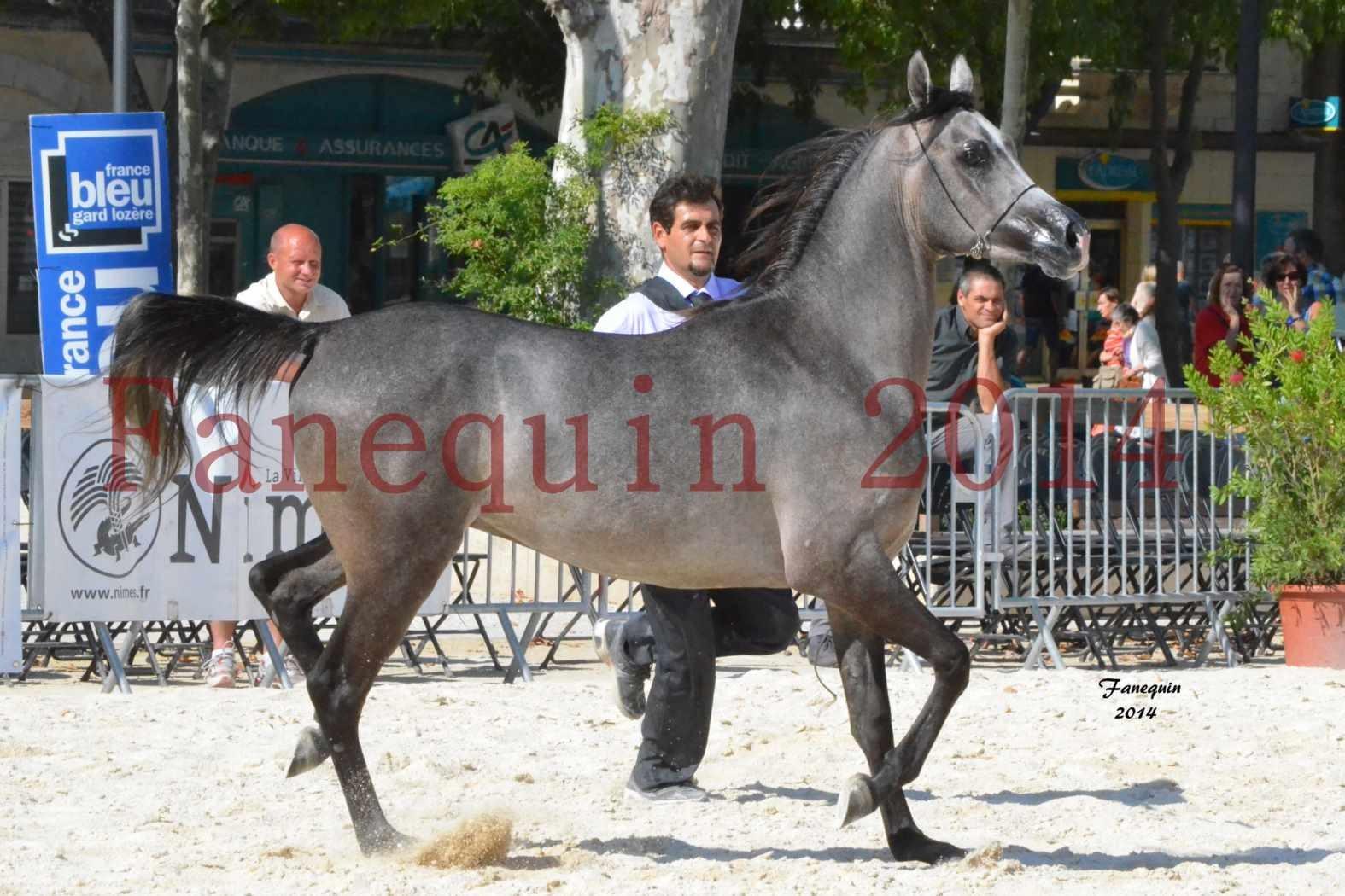 Concours National de Nîmes de chevaux ARABES 2014 - Notre Sélection - JOSEPH'S BOUZIOLS - 10