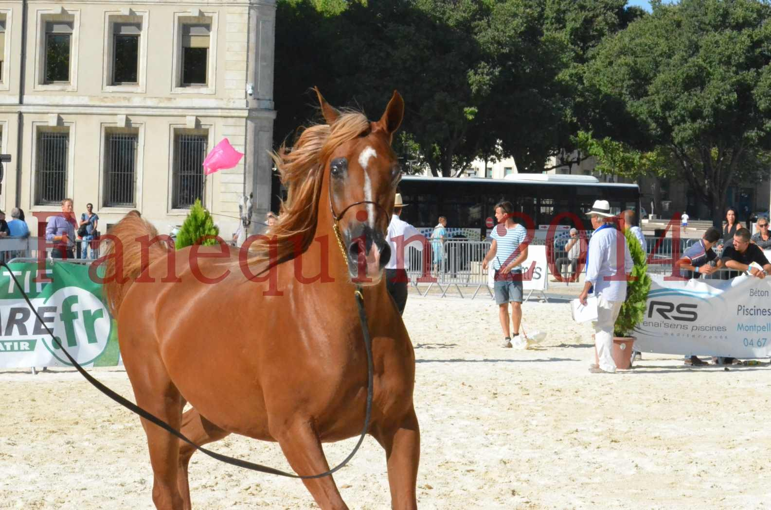Concours National de Nîmes de chevaux ARABES 2014 - Championnat - MASSAI DE BARREL - 71