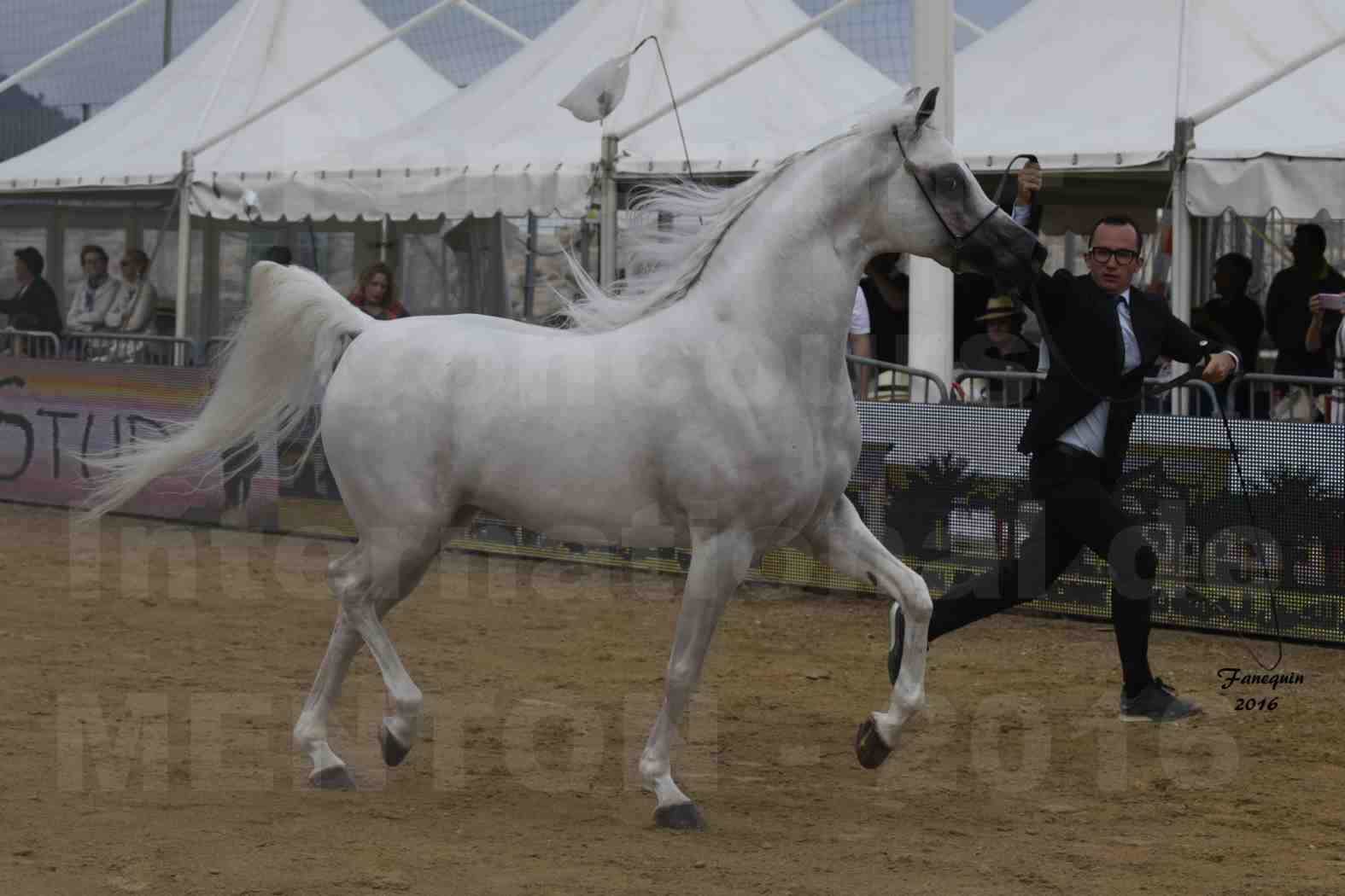 Show International de chevaux ARABES de MENTON 2016 - AJA ANGELO - 02