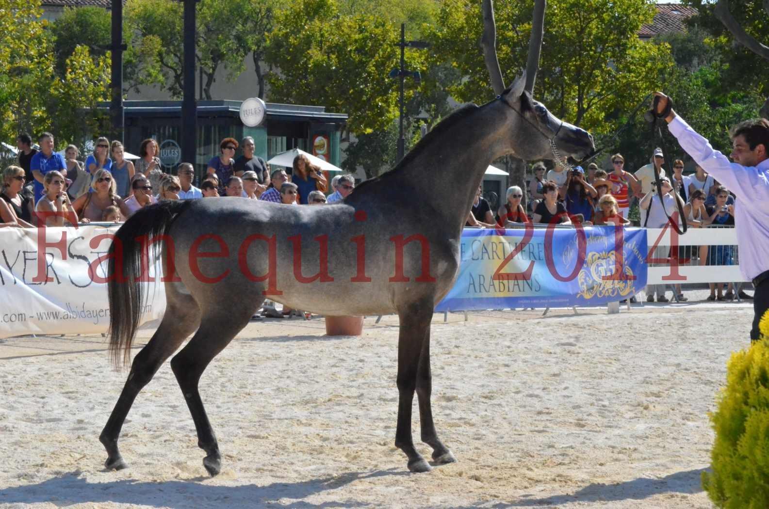 Concours National de Nîmes de chevaux ARABES 2014 - Championnat - JOSEPH'S BOUZIOLS - C 19