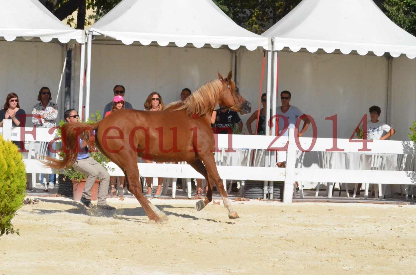 Concours National de Nîmes de chevaux ARABES 2014 - Championnat - MASSAI DE BARREL - 42