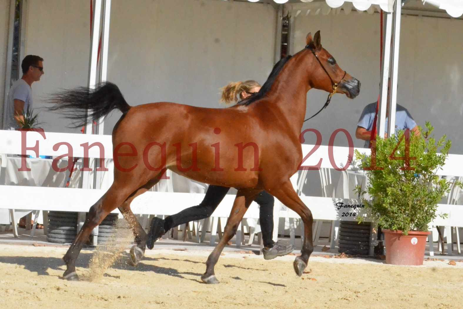 Concours National de Nîmes de chevaux ARABES 2014 - Notre Sélection - ABHA TALAWA - 4