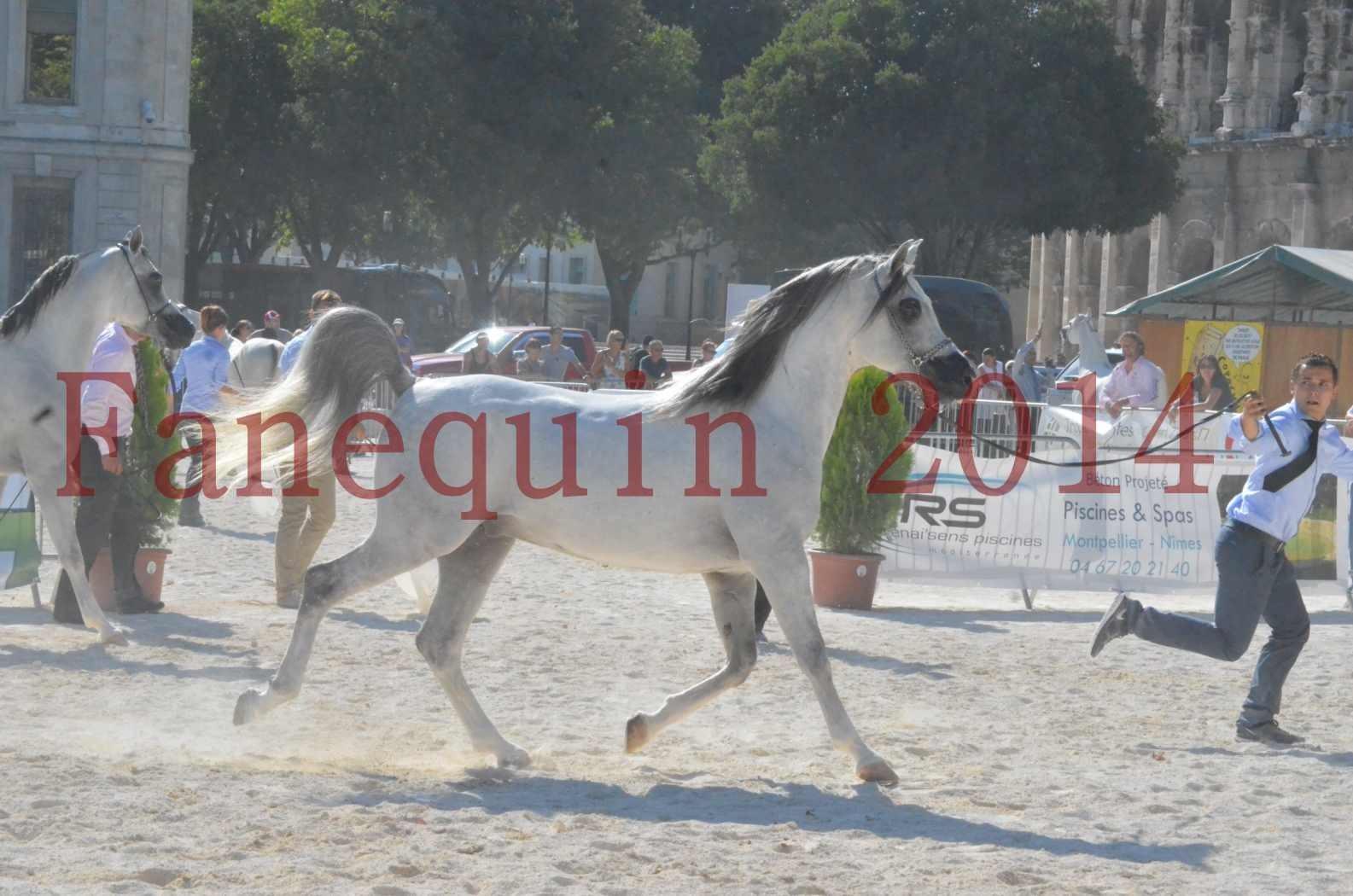 Concours National de Nîmes de chevaux ARABES 2014 - Championnat - SHAOLIN DE NEDJAIA - 08