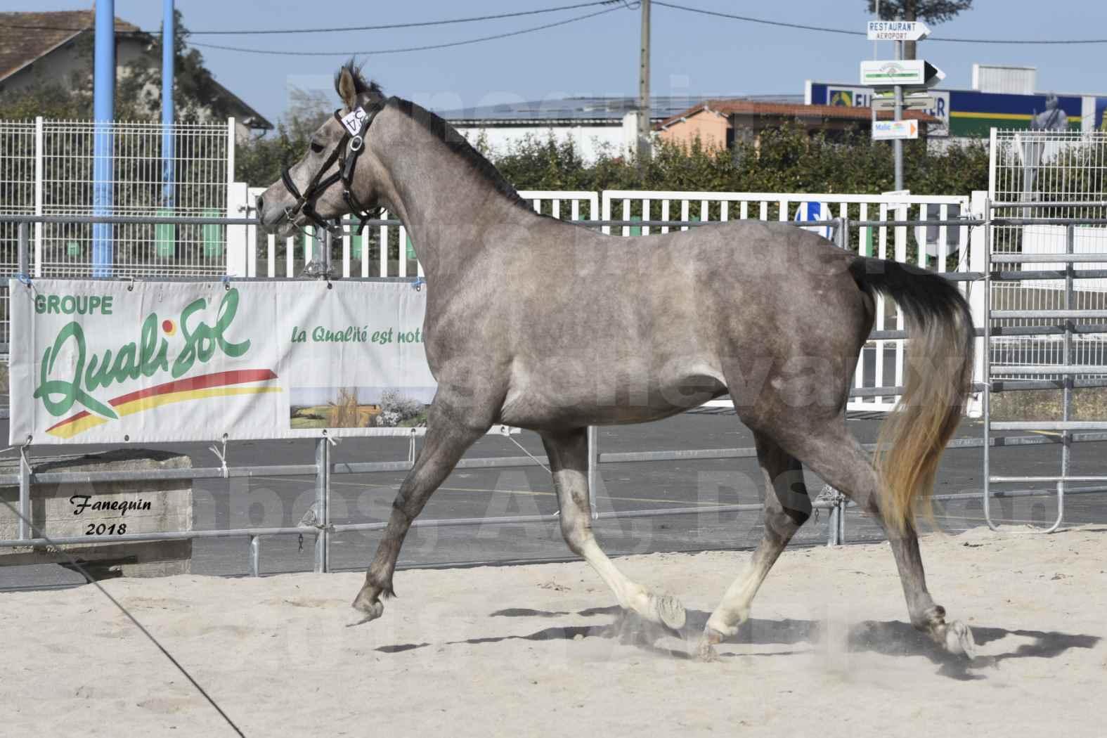 Concours d'élevage de Chevaux Arabes - D. S. A. - A. A. - ALBI les 6 & 7 Avril 2018 - GRIMM DE DARRA - Notre Sélection - 9
