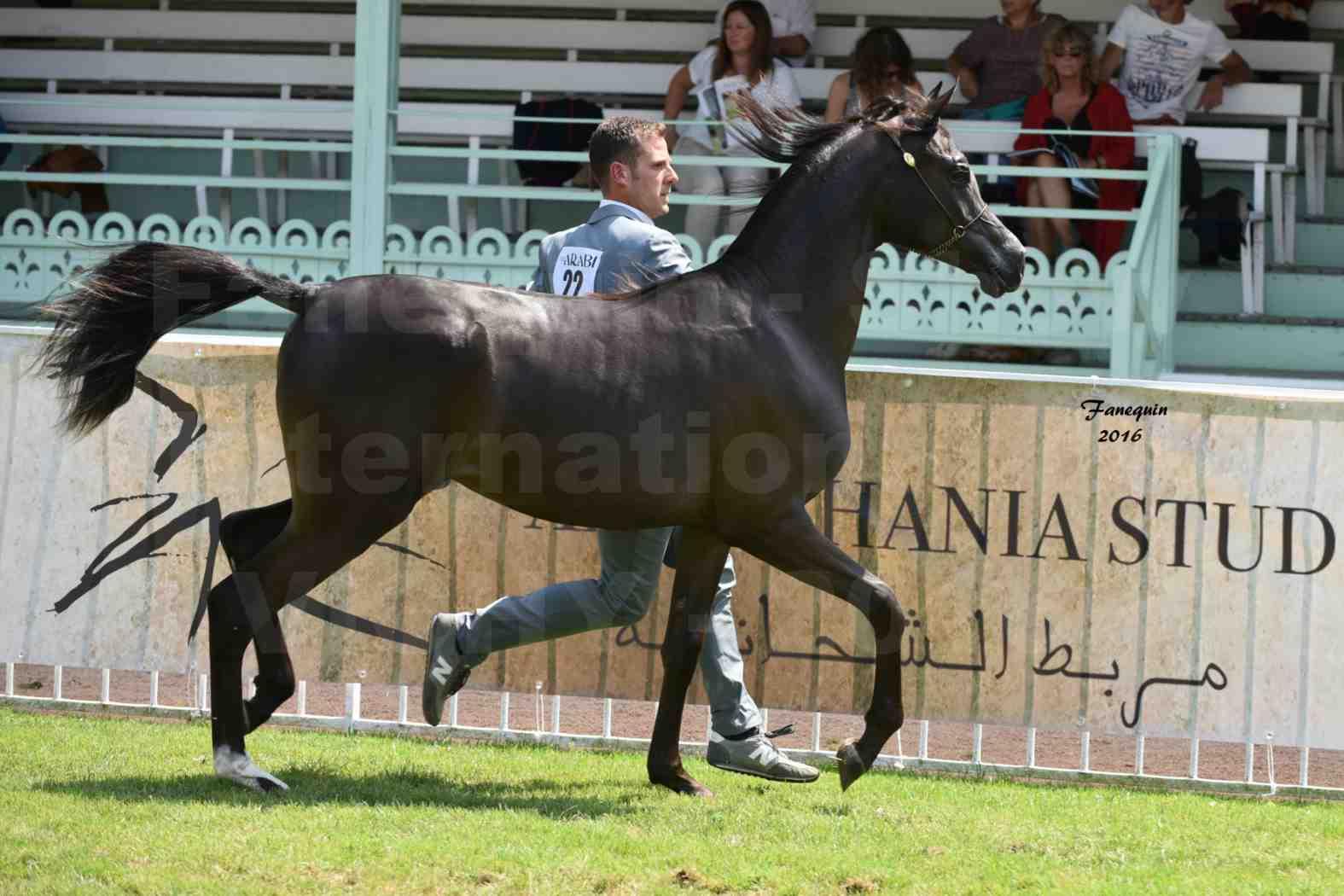 International Arabian Horse Show B de VICHY 2016 - ANNALISA ALIH - Notre Sélection - 2