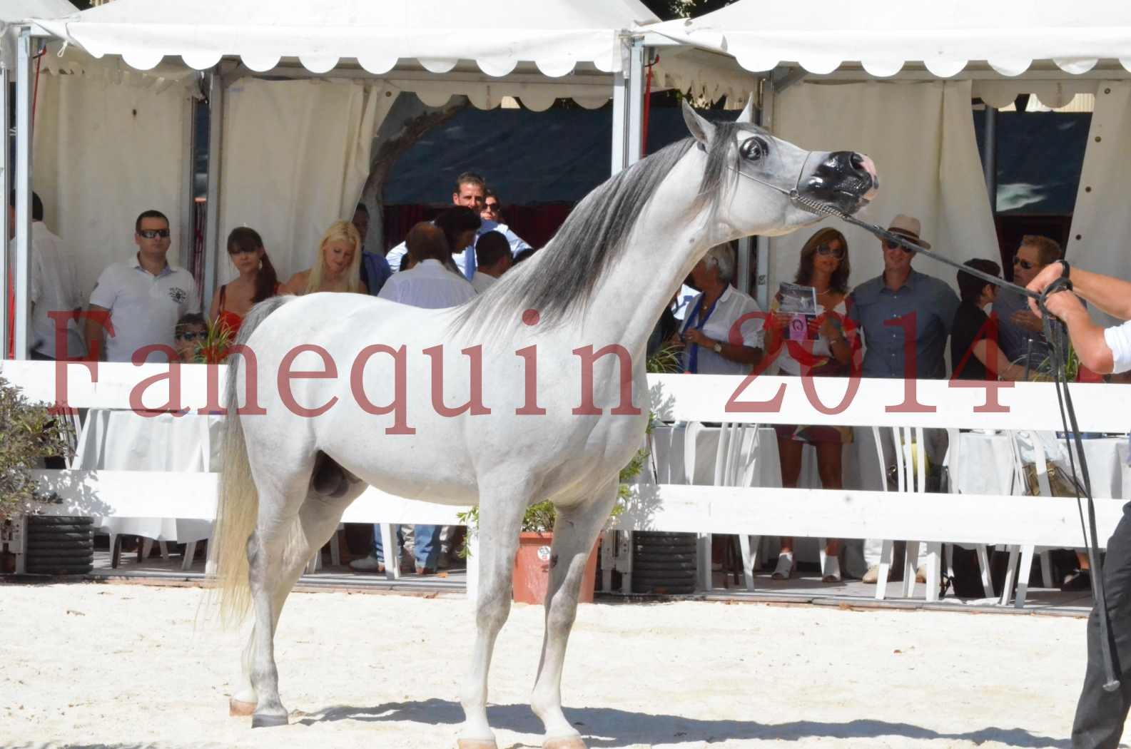 Concours National de Nîmes de chevaux ARABES 2014 - Sélection - SHAOLIN DE NEDJAIA - 83