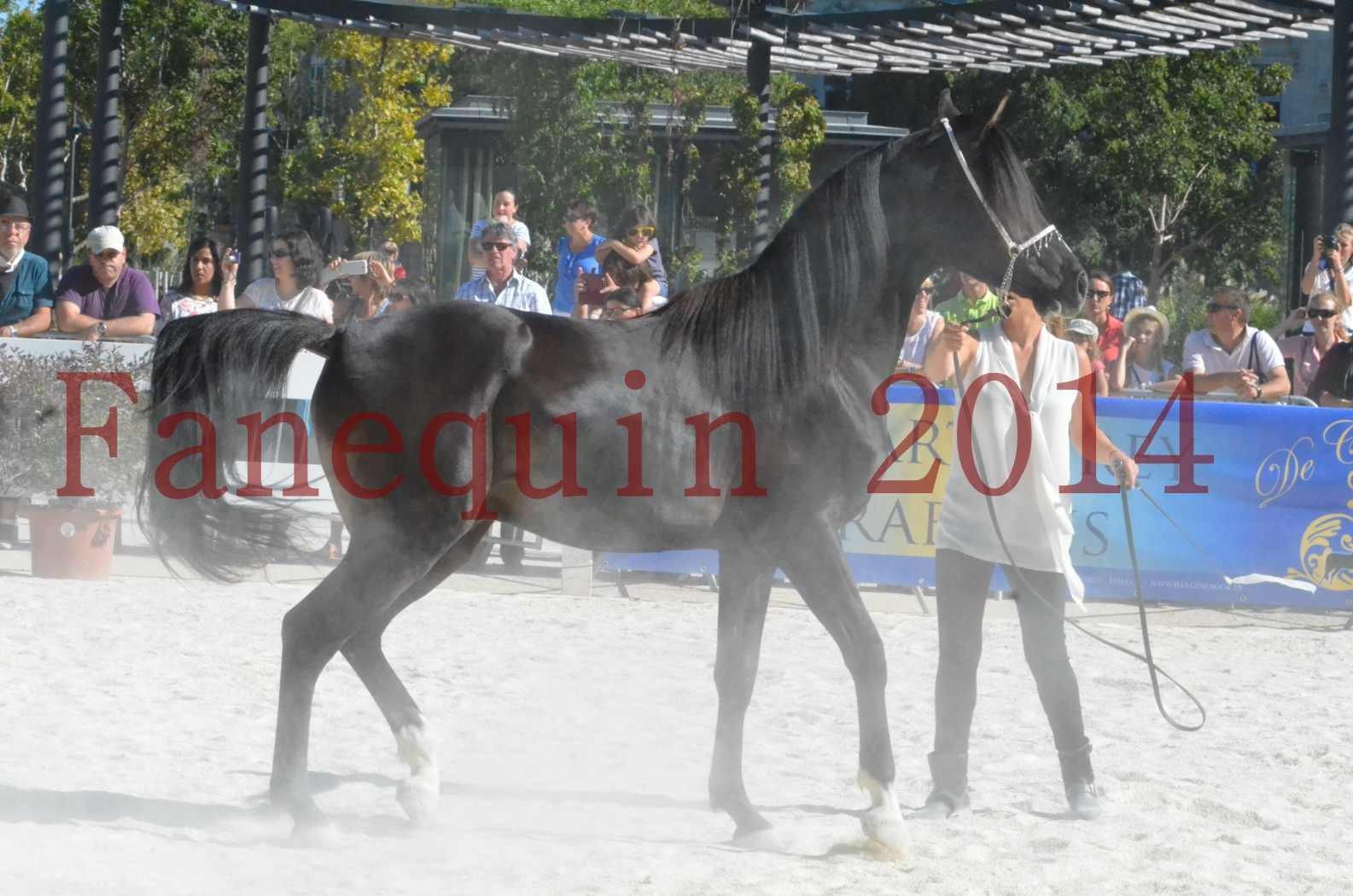 Concours National de Nîmes de chevaux ARABES 2014 - Sélection - Portraits - BALTYK DE CHAUMONT - 06