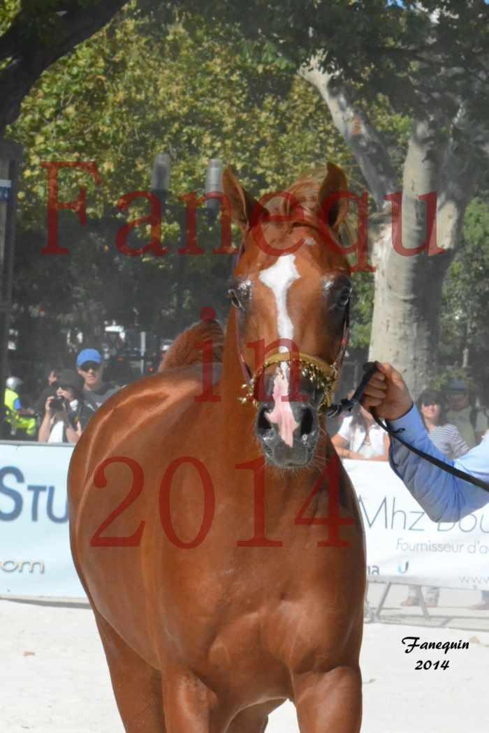 Concours National de Nîmes de chevaux ARABES 2014 - Notre Sélection - Portraits -  DZHARI NUNKI - 2