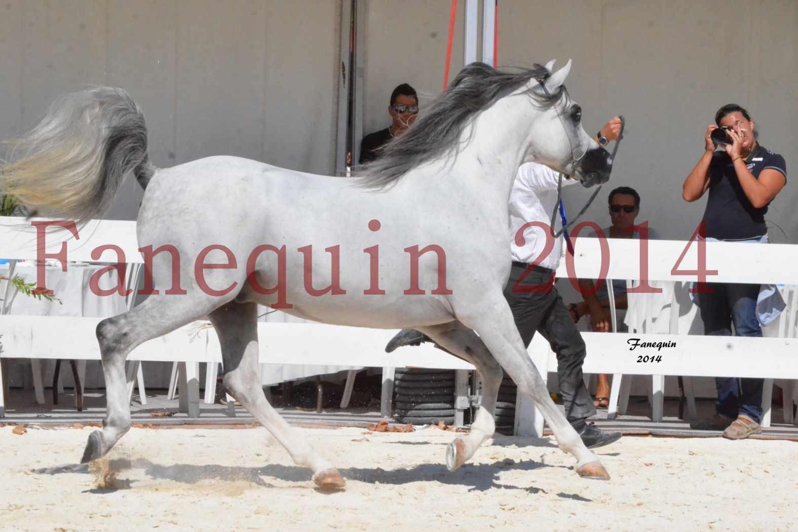 Concours National de Nîmes de chevaux ARABES 2014 - Notre Sélection - SHAOLIN DE NEDJAIA - 09