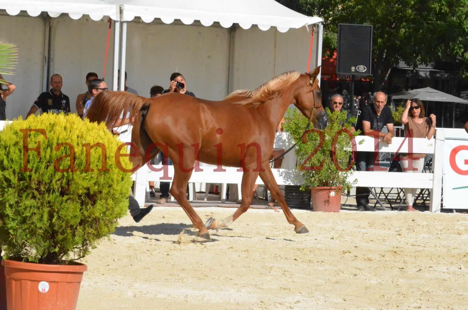 Concours National de Nîmes de chevaux ARABES 2014 - Championnat - MASSAI DE BARREL - 59
