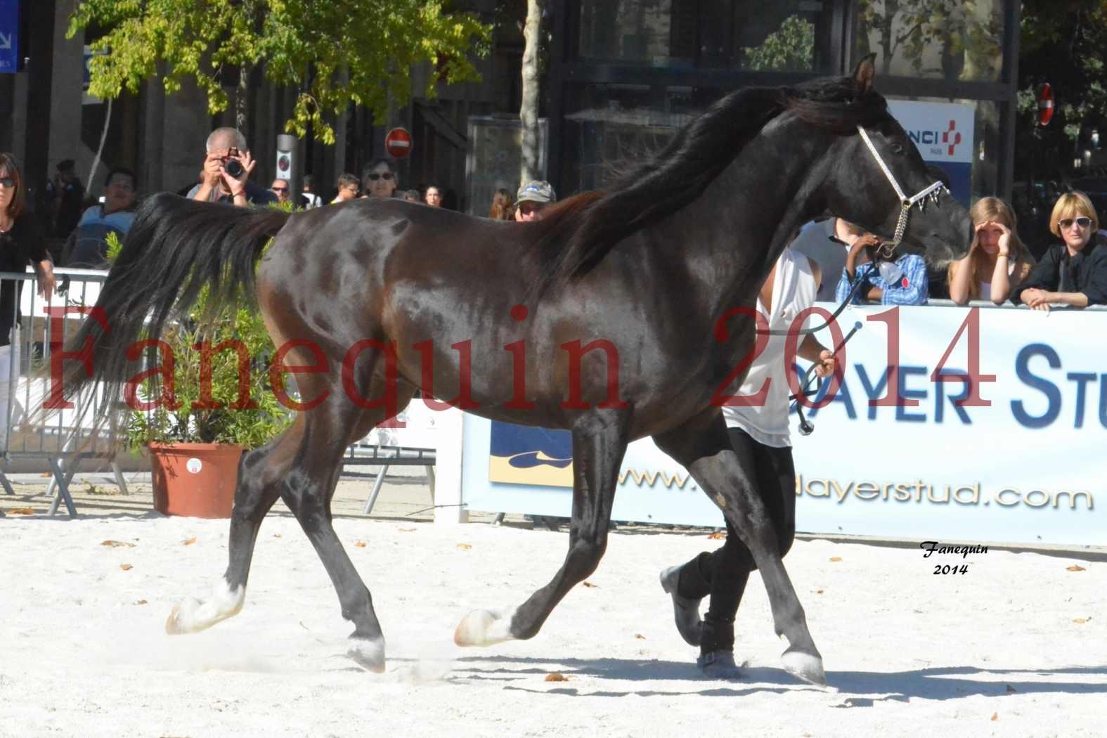 Concours National de Nîmes de chevaux ARABES 2014 - Notre Sélection - BALTYK DE CHAUMONT - 6