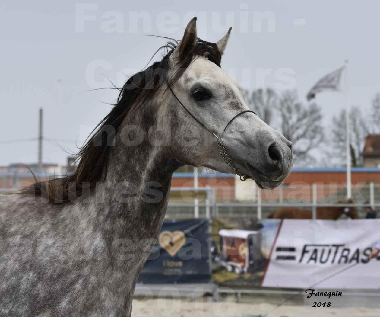 Concours d'élevage de Chevaux Arabes - Demi Sang Arabes - Anglo Arabes - ALBI les 6 & 7 Avril 2018 - PERCEVAL DE LAFON - Notre Sélection - Portraits - 08
