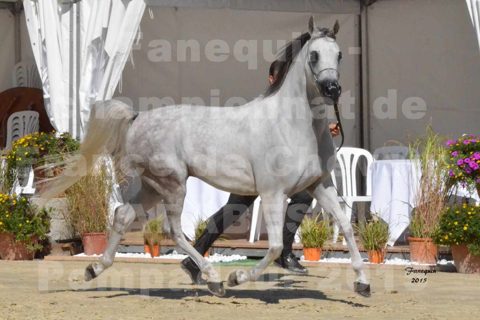 Championnat de FRANCE du cheval ARABE à POMPADOUR les 21, 22 & 23 Août 2015 - Classe Beau & Bon