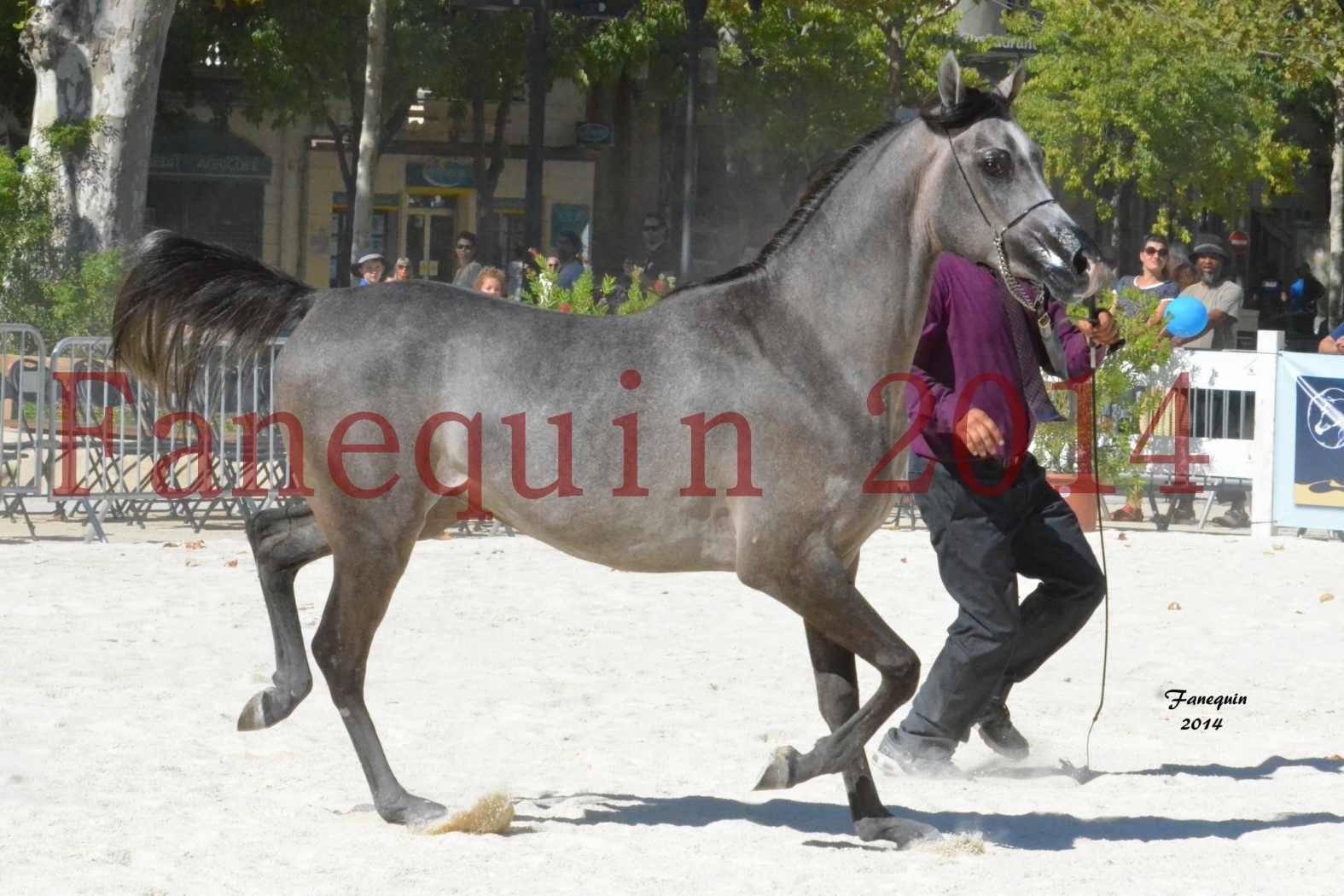 Concours National de Nîmes de chevaux ARABES 2014 - Notre Sélection - JOSEPH'S BOUZIOLS - 07