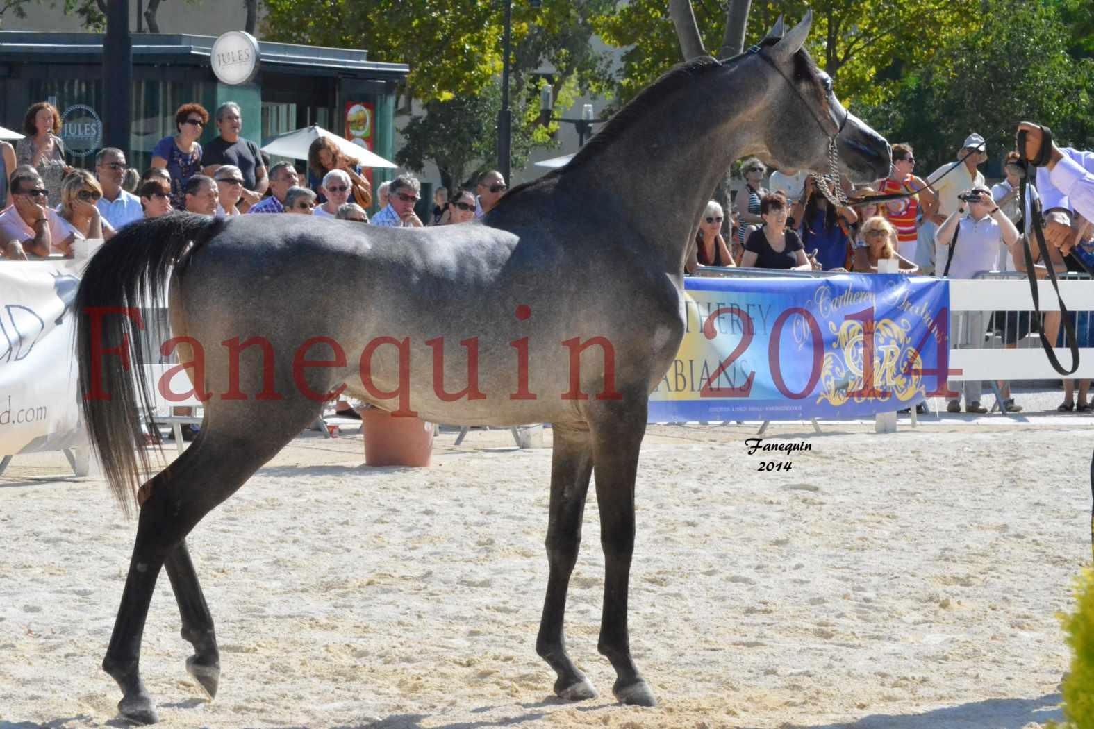 Concours National de Nîmes de chevaux ARABES 2014 - Notre Sélection - JOSEPH'S BOUZIOLS - 12