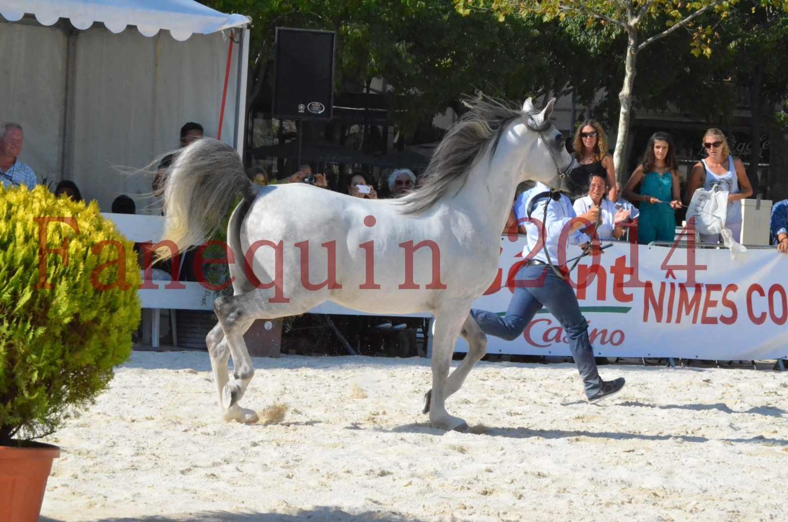 Concours National de Nîmes de chevaux ARABES 2014 - Championnat - SHAOLIN DE NEDJAIA - 13