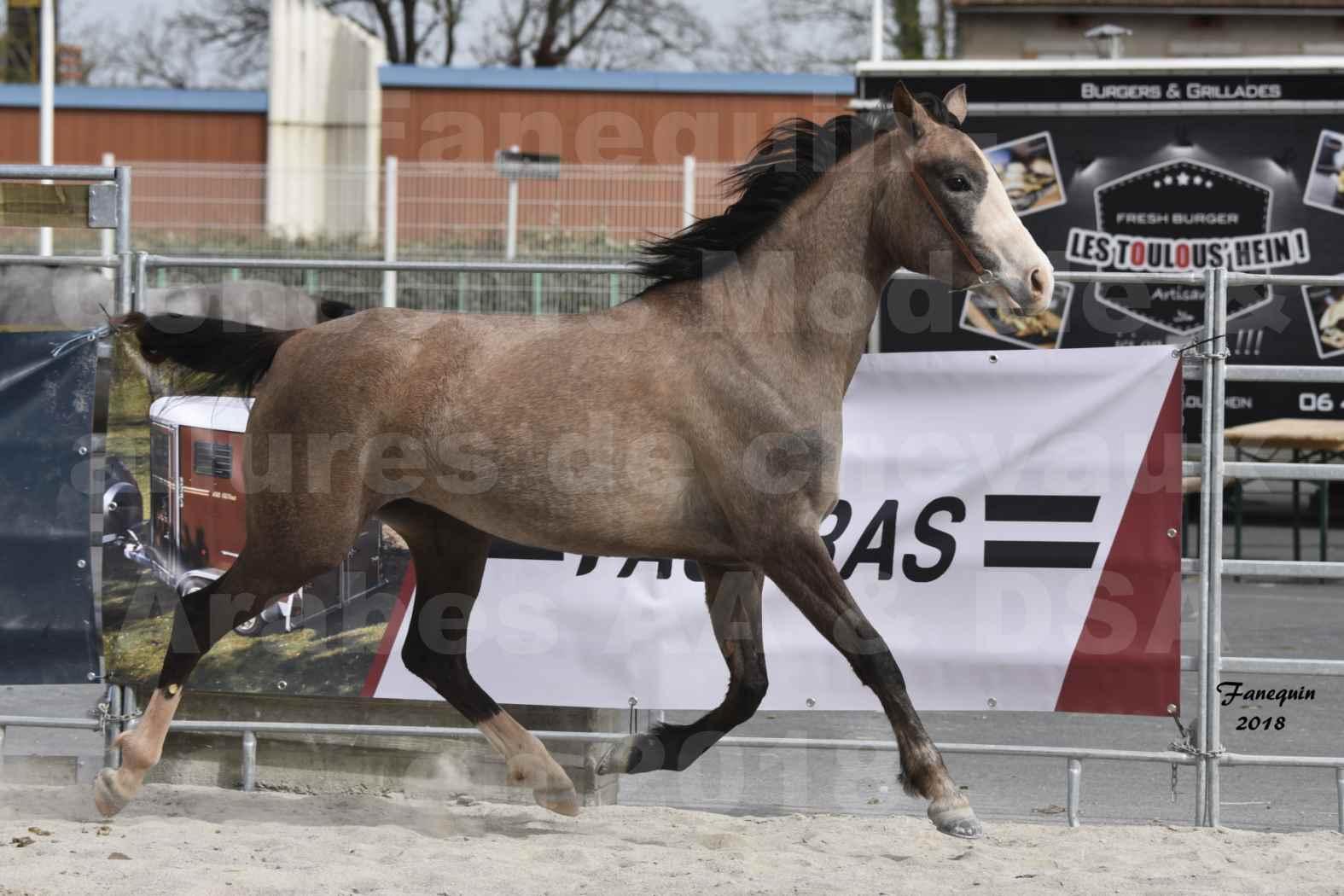 Concours d'élevage de Chevaux Arabes - D. S. A. - A. A. - ALBI les 6 & 7 Avril 2018 - FLORIA DU PUECH - Notre Sélection 06