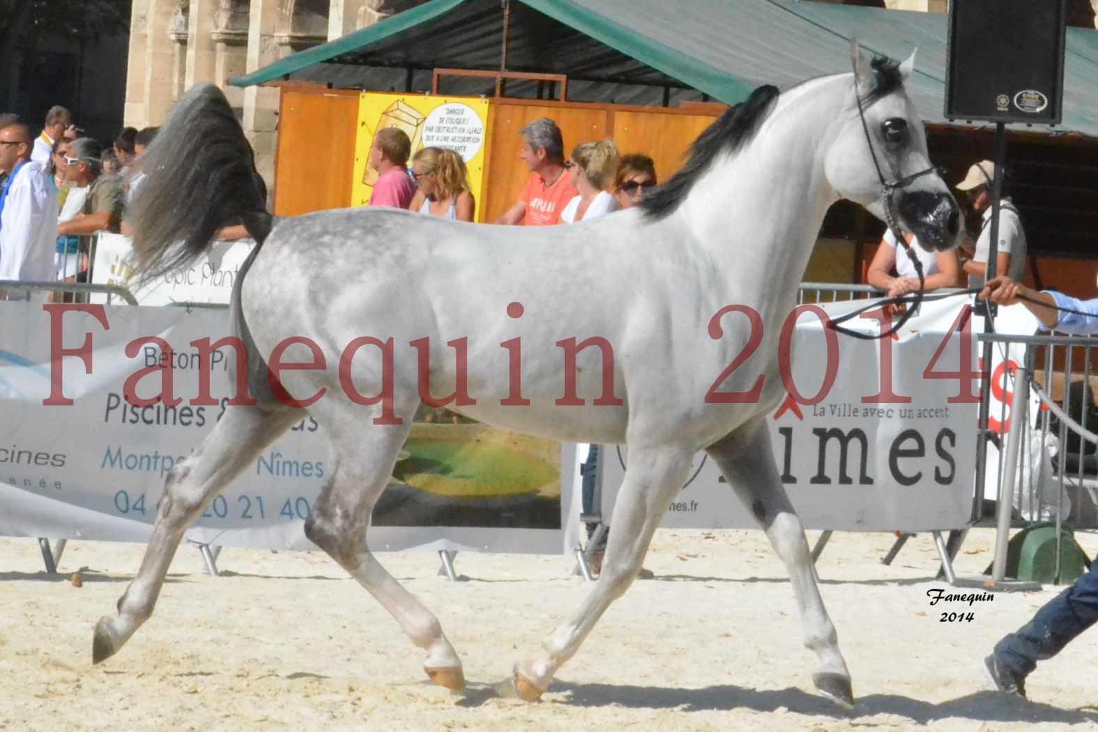 Concours National de chevaux ARABES 2014 - NADJYK DES AUBUS - 1