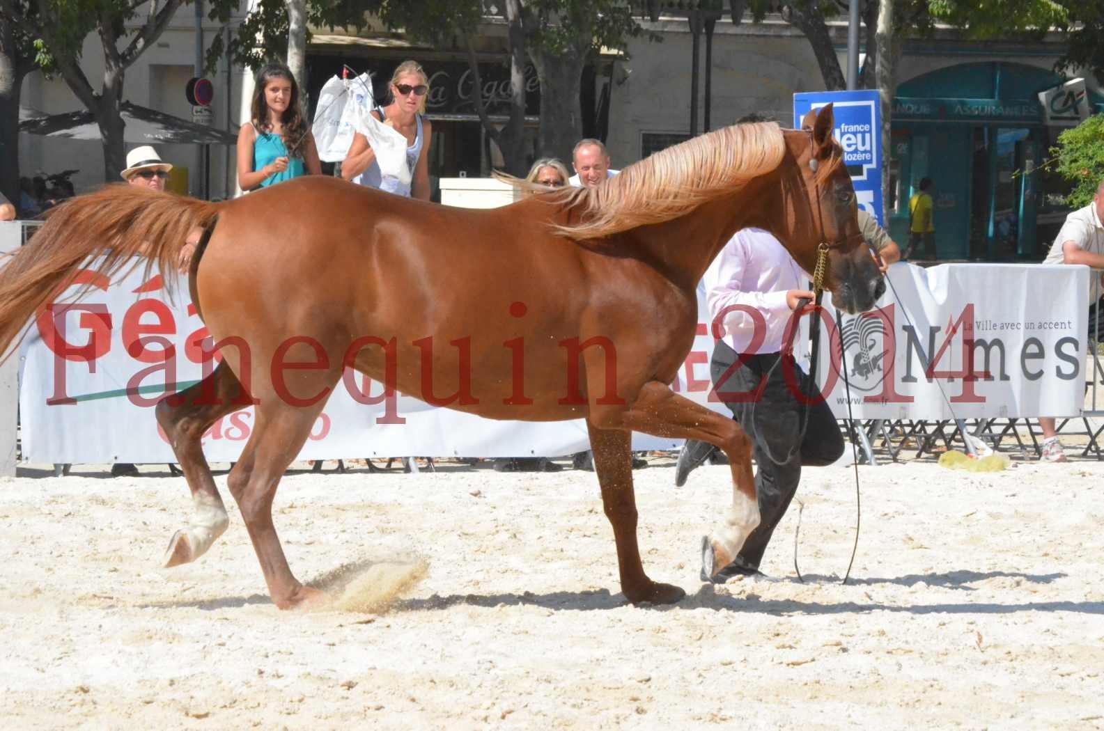 Concours National de Nîmes de chevaux ARABES 2014 - Championnat - MASSAI DE BARREL - 29