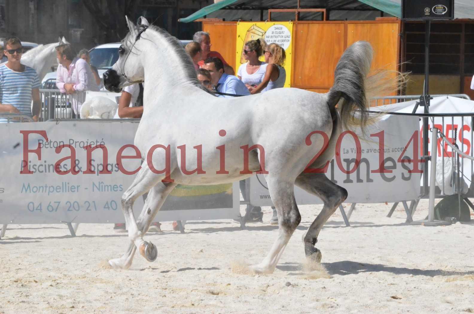 Concours National de Nîmes de chevaux ARABES 2014 - Sélection - SHAOLIN DE NEDJAIA - 35