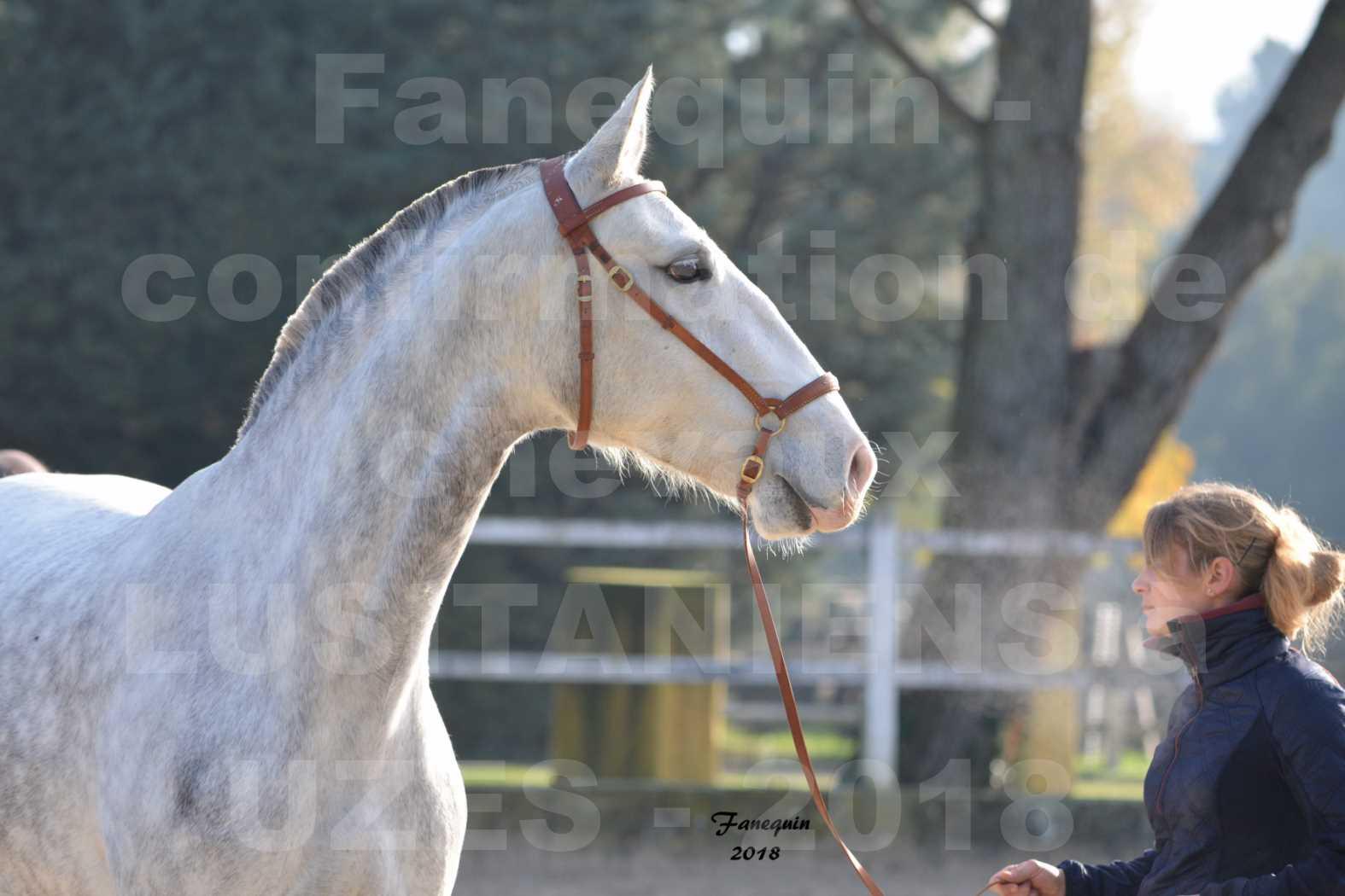 Confirmation de chevaux LUSITANIENS aux Haras d'UZES Novembre 2018 - LUTECE DU CASTEL - Portraits - 1