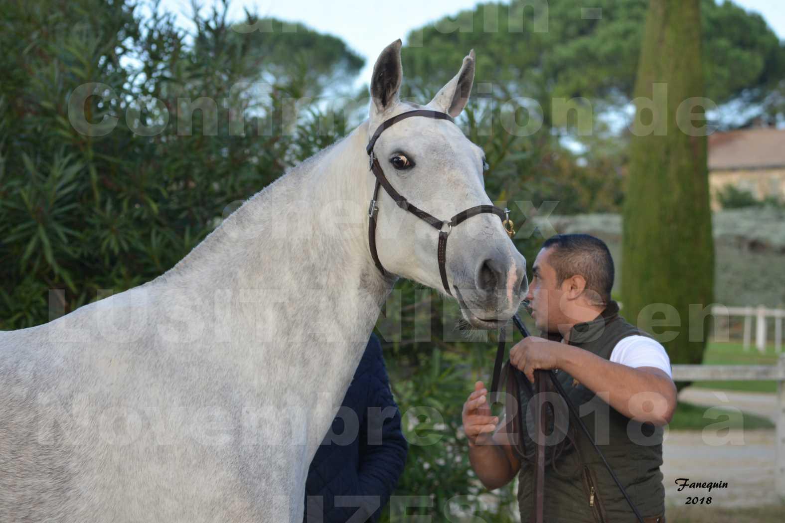 Confirmation de chevaux LUSITANIENS aux Haras d'UZES Novembre 2018 - DANAÏDE DU MOLE - Portraits - 1